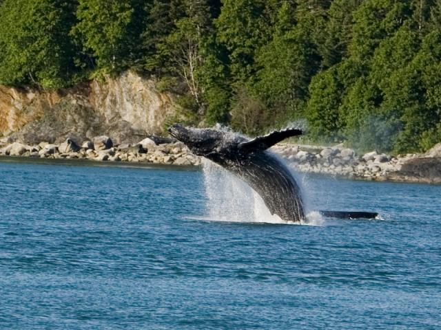 Alaska_Whale